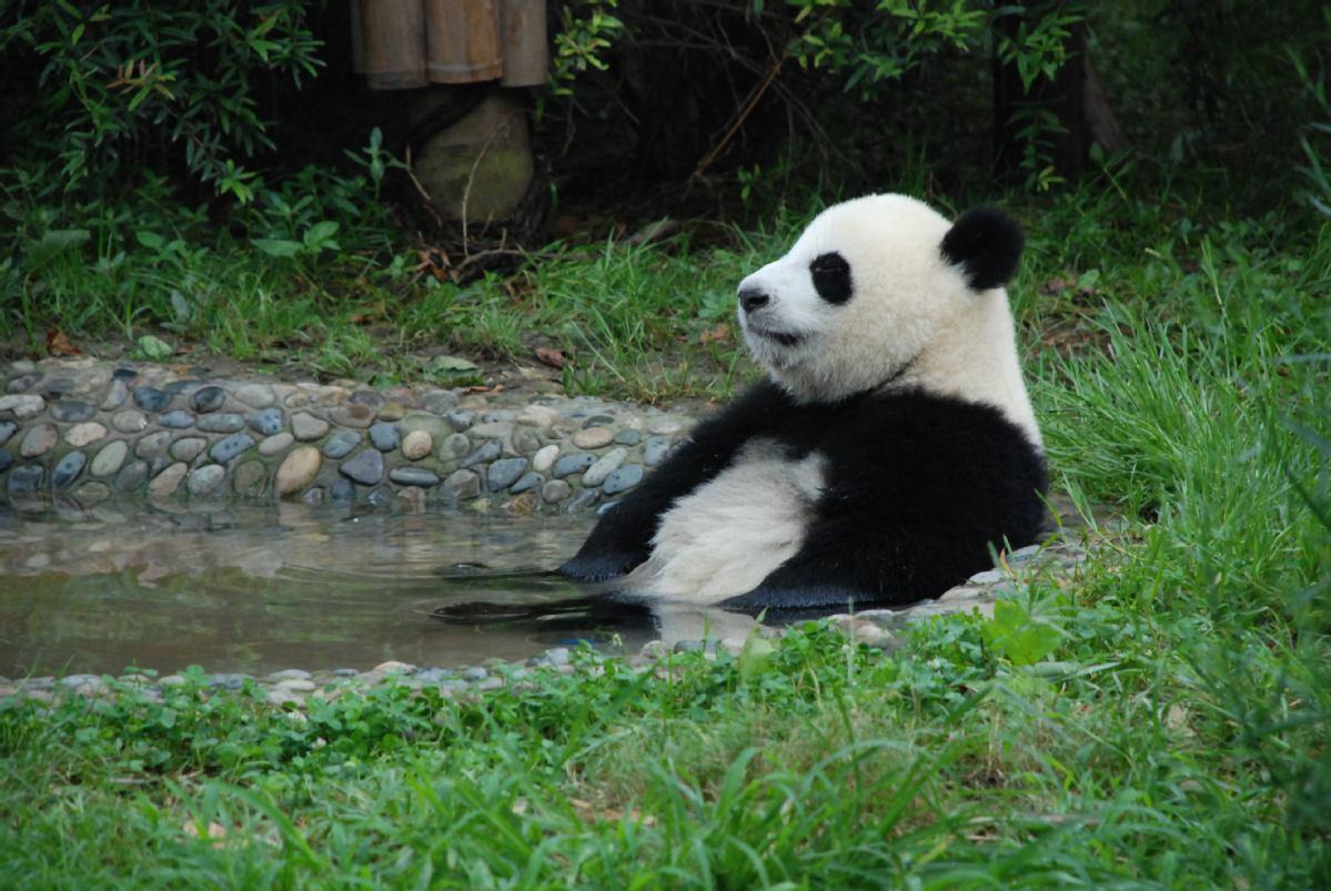 A giant panda of China